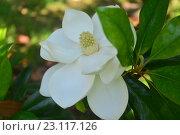 Купить «Магнолия (лат. Magnolia)», фото № 23117126, снято 18 июня 2016 г. (c) Игорь Архипов / Фотобанк Лори