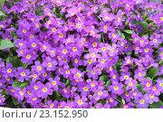Купить «Фон из фиолетовых цветов», фото № 23152950, снято 1 мая 2016 г. (c) Jane Miau / Фотобанк Лори