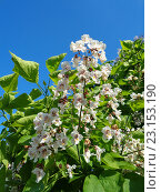 Купить «Ветка цветущей катальпы, белые цветы в зеленой листве на фоне голубого неба», фото № 23153190, снято 16 июня 2016 г. (c) DiS / Фотобанк Лори