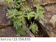 Купить «Star Cloak Fern (Notholaena standleyi) growing on rock, Big Bend N.P., Chihuahuan Desert, Texas, U.S.A., February», фото № 23154810, снято 22 марта 2016 г. (c) age Fotostock / Фотобанк Лори