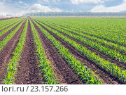 Ряды молодой кукурузы на поле. Стоковое фото, фотограф Ирина Кожемякина / Фотобанк Лори