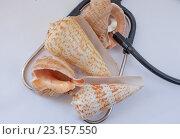 Морские ракушки. Стоковое фото, фотограф Christina Shart / Фотобанк Лори