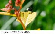 Купить «Жук на листе. Макро», видеоролик № 23159406, снято 24 июня 2016 г. (c) Pukhov K / Фотобанк Лори