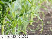 Купить «Кукурузные ростки в саду», фото № 23161562, снято 18 июня 2016 г. (c) Йомка / Фотобанк Лори