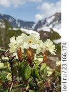 Купить «Цветущий рододендрон золотистый на фоне гор», фото № 23166174, снято 21 июня 2016 г. (c) А. А. Пирагис / Фотобанк Лори