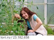 Купить «Девушка - садовод смеется и играет веткой с маленькими зелеными помидорами в теплице на дачном участке», фото № 23182658, снято 19 июня 2016 г. (c) Максим Мицун / Фотобанк Лори