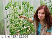 Купить «Девушка - садовод держит куст цветущих томатов в теплице на дачном участке», фото № 23182666, снято 19 июня 2016 г. (c) Максим Мицун / Фотобанк Лори