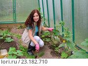 Купить «Девушка - садовод рыхлит лопаткой почву в теплице с огурцами на дачном участке», фото № 23182710, снято 19 июня 2016 г. (c) Максим Мицун / Фотобанк Лори