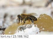 Пчела на меде. Стоковое фото, фотограф Игорь Потапов / Фотобанк Лори