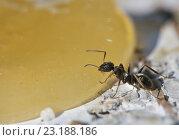 Муравей ест мёд. Стоковое фото, фотограф Игорь Потапов / Фотобанк Лори