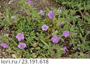 Купить «Bristly Nama (Nama hispidum) flowering, Big Bend N.P., Chihuahuan Desert, Texas, U.S.A., February», фото № 23191618, снято 27 июня 2019 г. (c) age Fotostock / Фотобанк Лори
