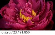 Купить «Распускающийся красный пион, таймлапс», видеоролик № 23191850, снято 1 июня 2016 г. (c) Илья Шаматура / Фотобанк Лори