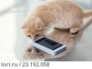 Купить «close up of scottish fold kitten with smartphone», фото № 23192058, снято 19 июля 2015 г. (c) Syda Productions / Фотобанк Лори
