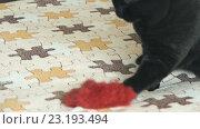 Купить «Черный британский кот и игрушка», видеоролик № 23193494, снято 1 июля 2016 г. (c) worker / Фотобанк Лори