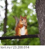 Купить «Рыжая белка на дереве ест орех», фото № 23200014, снято 3 июля 2016 г. (c) Юрий Кирсанов / Фотобанк Лори