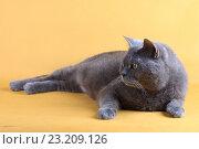 Купить «Британская короткошерстная кошка лежит. British Short-hair cat (blue gray)», фото № 23209126, снято 21 июня 2016 г. (c) Елена Кутепова / Фотобанк Лори
