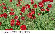 Купить «blossoming wild red poppies», видеоролик № 23213330, снято 4 июня 2016 г. (c) Яков Филимонов / Фотобанк Лори