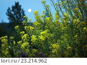 Трава сурепка на фоне луны и леса. Стоковое фото, фотограф Евгений Талашов / Фотобанк Лори