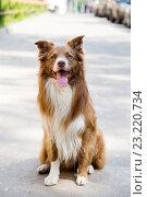 Купить «Собака породы колли сидит на дороге», фото № 23220734, снято 2 июля 2016 г. (c) Наталья Окорокова / Фотобанк Лори
