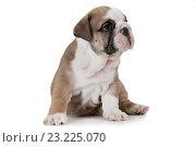 Купить «Породистый английский бульдог на белом фоне», фото № 23225070, снято 20 июня 2016 г. (c) Алексей Кузнецов / Фотобанк Лори