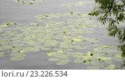 Купить «Желтые кувшинки плавают на волнах в ветреный день», видеоролик № 23226534, снято 8 июля 2016 г. (c) Румянцева Наталия / Фотобанк Лори