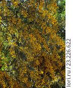 Купить «Цветущая мимоза в Израиле в апреле», фото № 23226622, снято 8 апреля 2015 г. (c) Самойлова Екатерина / Фотобанк Лори