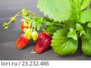 Ягоды клубники на грядке. Стоковое фото, фотограф Юлия Морозова / Фотобанк Лори