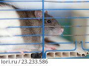 Купить «Крыса в клетке», фото № 23233586, снято 17 сентября 2019 г. (c) Argument / Фотобанк Лори