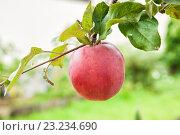 Купить «Одно большое красное яблоко на яблоневой ветке», фото № 23234690, снято 8 сентября 2013 г. (c) Юлия Бабкина / Фотобанк Лори