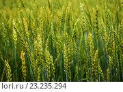 Зеленые колосья. Стоковое фото, фотограф Sergey  Ivanov / Фотобанк Лори