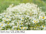 Купить «Фон полевых цветов ромашек», фото № 23236962, снято 10 июля 2016 г. (c) Йомка / Фотобанк Лори