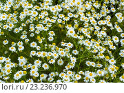 Купить «Ромашковое поле», фото № 23236970, снято 10 июля 2016 г. (c) Йомка / Фотобанк Лори