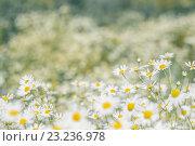 Купить «Фон полевых цветов ромашек», фото № 23236978, снято 10 июля 2016 г. (c) Йомка / Фотобанк Лори