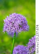 Купить «Purple allium flowers at botanic garden», фото № 23237674, снято 30 мая 2016 г. (c) Татьяна Белова / Фотобанк Лори