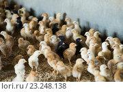 Купить «Many small multicolored broiler chicks», фото № 23248138, снято 26 марта 2019 г. (c) Яков Филимонов / Фотобанк Лори
