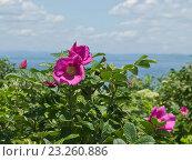 Купить «Цветок шиповника на фоне моря (роза морщинистая)», фото № 23260886, снято 3 июля 2016 г. (c) Корнилова Светлана / Фотобанк Лори