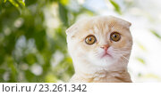Купить «close up of scottish fold kitten over nature», фото № 23261342, снято 19 июля 2015 г. (c) Syda Productions / Фотобанк Лори