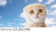 Купить «close up of scottish fold kitten over blue sky», фото № 23262046, снято 19 июля 2015 г. (c) Syda Productions / Фотобанк Лори