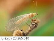 Купить «Насекомое lacewing Chrysopidae», фото № 23265510, снято 30 сентября 2014 г. (c) Йомка / Фотобанк Лори