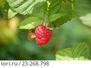 Купить «Красная ягода малины на ветке», фото № 23268798, снято 3 июля 2016 г. (c) Бабкина Марина / Фотобанк Лори