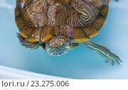 Черепаха красноухая. Стоковое фото, фотограф LenaLeonovich / Фотобанк Лори