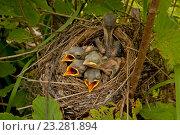 Маленькие птенцы в гнезде. Стоковое фото, фотограф Сергей Панкин / Фотобанк Лори