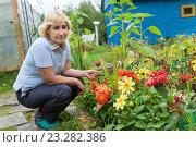 Купить «Красные и желтые георгины на дачной клумбе, женщина садовод выращивает цветы», фото № 23282386, снято 28 августа 2015 г. (c) Кекяляйнен Андрей / Фотобанк Лори