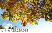 Купить «Осенние листья падают. Красочная осень в лесу», видеоролик № 23299094, снято 21 июля 2009 г. (c) Куликов Константин / Фотобанк Лори