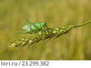 Купить «Кузнечик зелёный (лат. Tettigonia viridissima) на колоске ржи», фото № 23299382, снято 9 июля 2016 г. (c) Елена Коромыслова / Фотобанк Лори