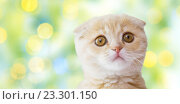 Купить «close up of scottish fold kitten over green lights», фото № 23301150, снято 19 июля 2015 г. (c) Syda Productions / Фотобанк Лори