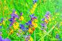 Марьянник дубравный цветет в поле, фото № 23302926, снято 15 июля 2016 г. (c) Зезелина Марина / Фотобанк Лори