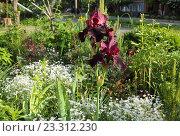 Купить «Тёмно-красные высокие бородатые ирисы (Iris barbatus)», эксклюзивное фото № 23312230, снято 12 мая 2016 г. (c) Ирина Водяник / Фотобанк Лори