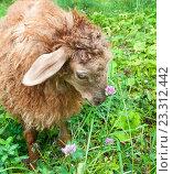 Купить «Смешная коричневая овца пасется на зеленой траве», фото № 23312442, снято 25 июля 2016 г. (c) Екатерина Овсянникова / Фотобанк Лори
