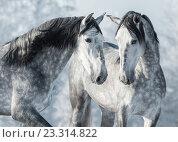 Пара испанских лошадей - портрет крупным планом. Стоковое фото, фотограф Абрамова Ксения / Фотобанк Лори